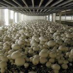 How to Start a Mushroom Business in the Philippines